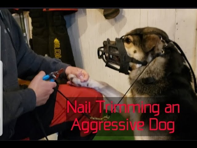 Aggressive dog nail trim - How to