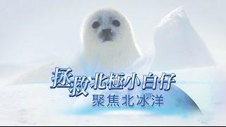 拯救北極小白仔 - 聚焦北冰洋