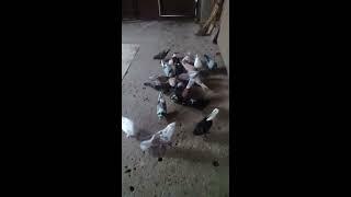 Աղավնիներ 2019 Axavniner 2019 голубы 2019 xsher 2019
