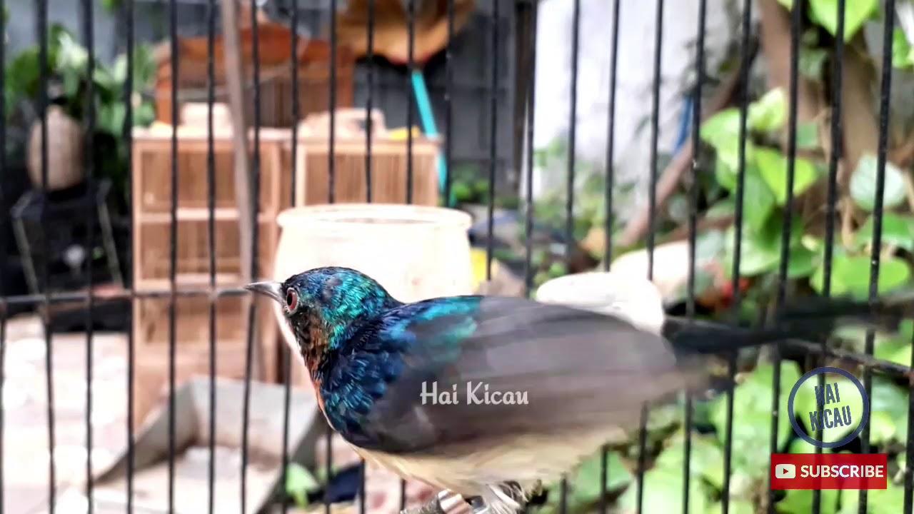 Kolibri Wulung Kowul Gacor Narung Ampuh Untuk Pancing Kowul Bahan Youtube