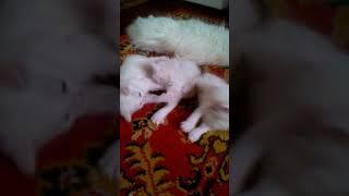 Котята турецкой ангоры. Пушистые белые снежинки - Золушкины малыши.