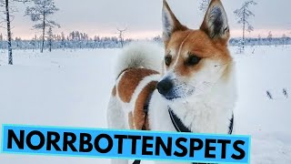 Norrbottenspets  TOP 10 Interesting Facts