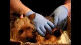 Parto De Yorkshire Terrier  (nala) Entero