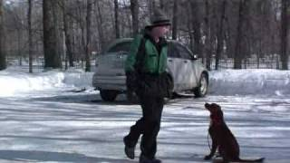 Red Setter Libby - Obedience Level Ii. Dog Training Graduate