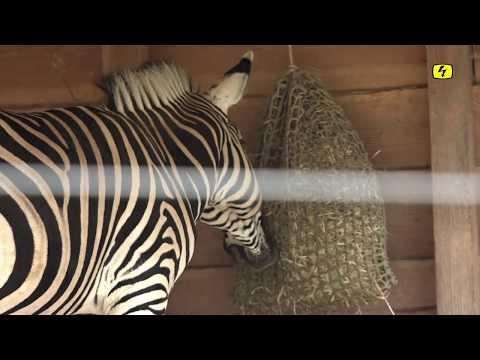 Zoo Zürich baut Lewa Savanne