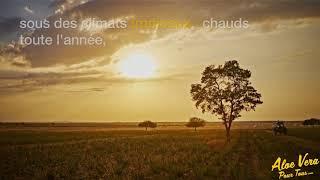 #3 Aloe Vera Pour Tous   Savoir faire Forever Living   Lumière sur nos champs d'Aloe vera