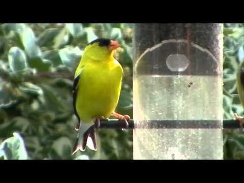American goldfinch male and female pair carduelis tristis wild canary at my feeder July 2011
