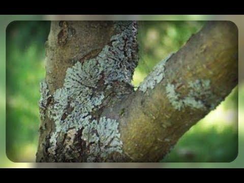 Лишайники на деревьях ,еще не поздно избавиться