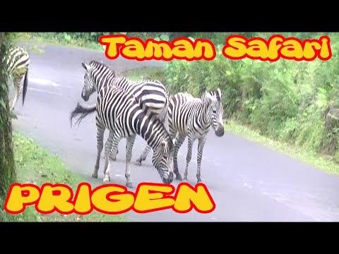 1 Jam Perjalanan Bus Melihat Macam-macam Binatang Taman Safari Prigen Pasuruan
