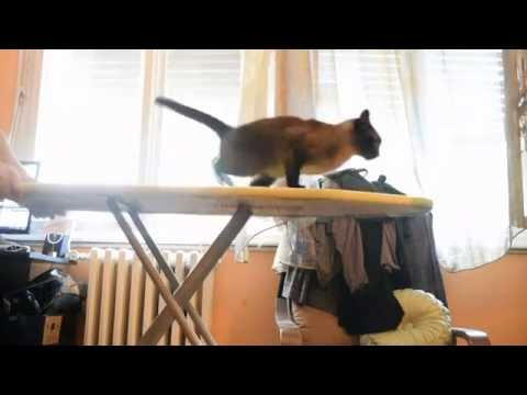 funny surfing siamese cat  Mika