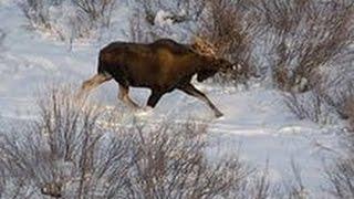 Охота на лося загоном. (не нормативная лексика)