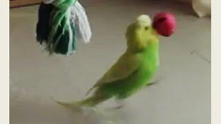 Budgie with dribbling skill | Pedro Video #19 | Liz Kreate