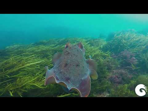 Cuttlefish Dive Aireys Inlet