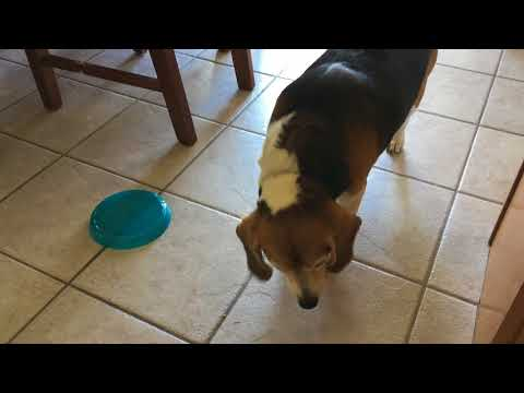 Banjo the Beagle Is AMAZING at Stealing Food!! GUILTY DOG!!