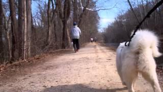 Samoyed Bikejoring:  C&O Canal