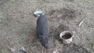 цыплята/скважина/свиньи)