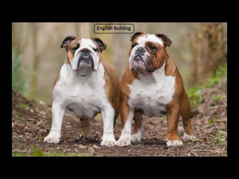 Old English Bulldog vs English Bulldog