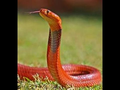 Chinese Astrology: Fire Snake