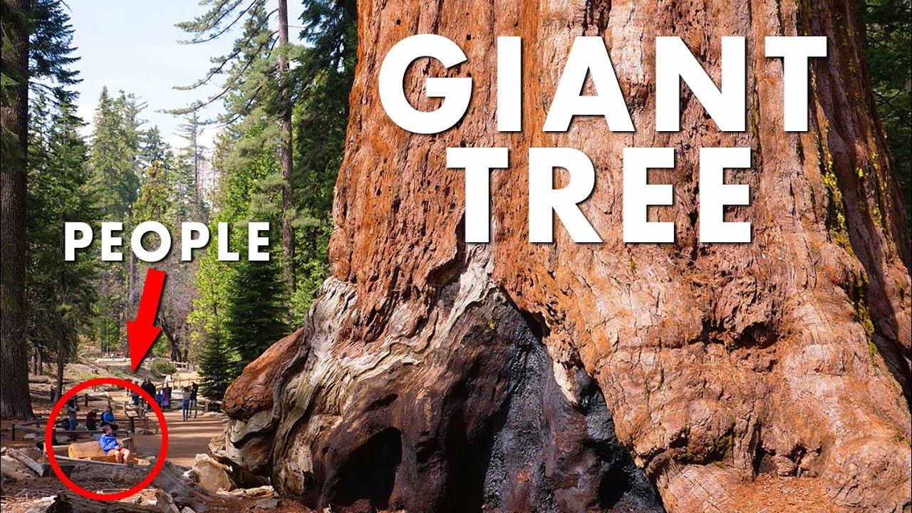 World's Largest Trees GIANT SEQUOIAS | 4K - YouTube