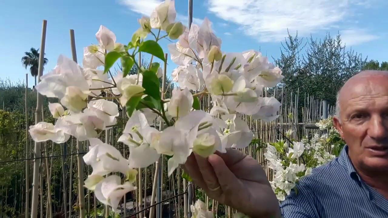 Quando Potare Il Bouganville bougainvillea: consigli per avere delle belle piante con generose fioriture