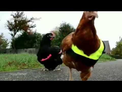warnweste hühner