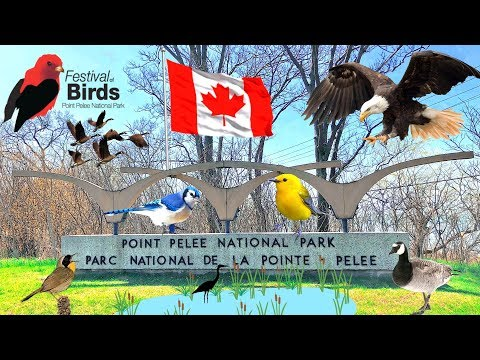 🦆Spectacular Festival Of Birds 🦅 Canada Migration @ Point Pelee National Park & Hillman Marsha