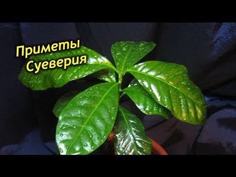 Кофейное дерево приметы и суеверия! Магия кофе!