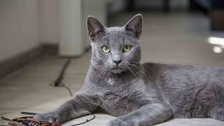 Кошка с русской душой. Русская голубая кошка! Породы кошек.