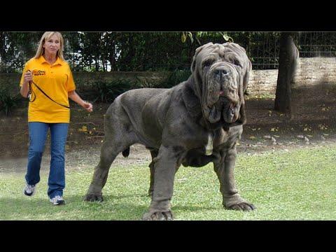 Вопрос: У каких пород собак обхват шеи 60 сантиметров?