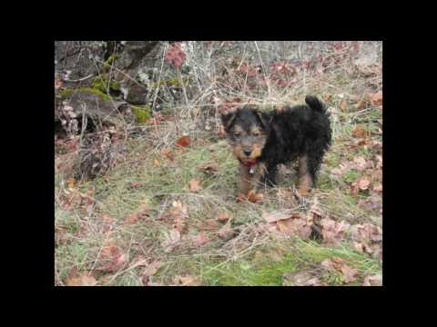 Welsh Terrier Puppy- Lake Hike