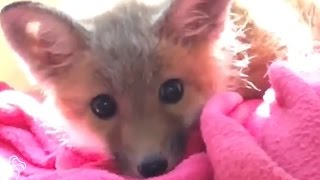 Baby Fox Found Wandering Parking Lot All Alone