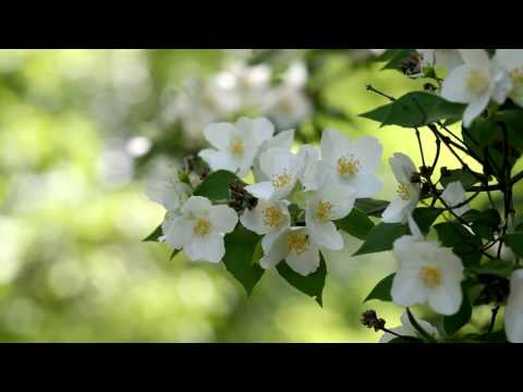 Jasmine flower  (nature) HD