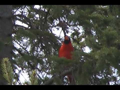 Beautiful male cardinal singing. Two distinct songs