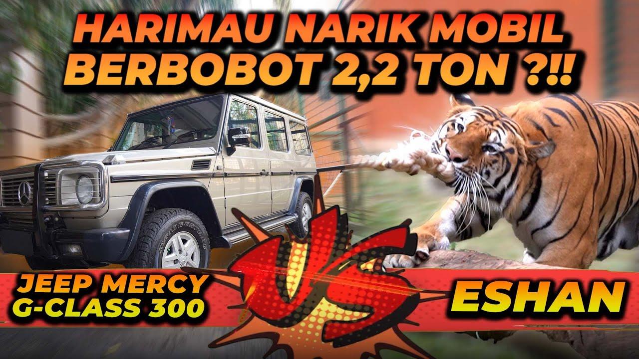 HARIMAU VS MOBIL !! APAKAH ESHAN KUAT UNTUK MENARIK MOBIL BOBOT 2.2 TON ? TIGER VS CAR