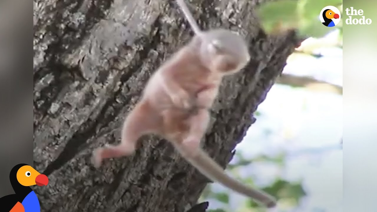 Crying Baby Squirrel Stuck on Thorn Rescued by Incredible People