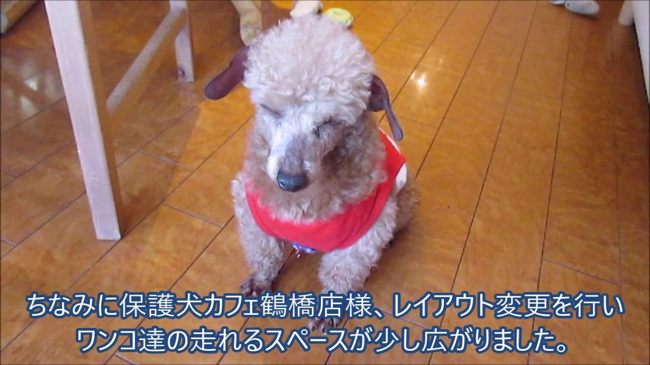 保護犬カフェ鶴橋店 プータロー君2017年5月14日と21日 Youtube