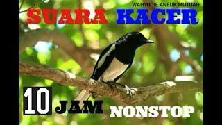 Full 10 Jam Nonstop Kicau Kacer, cocok banget untuk melatih mental burung kesayangan Anda