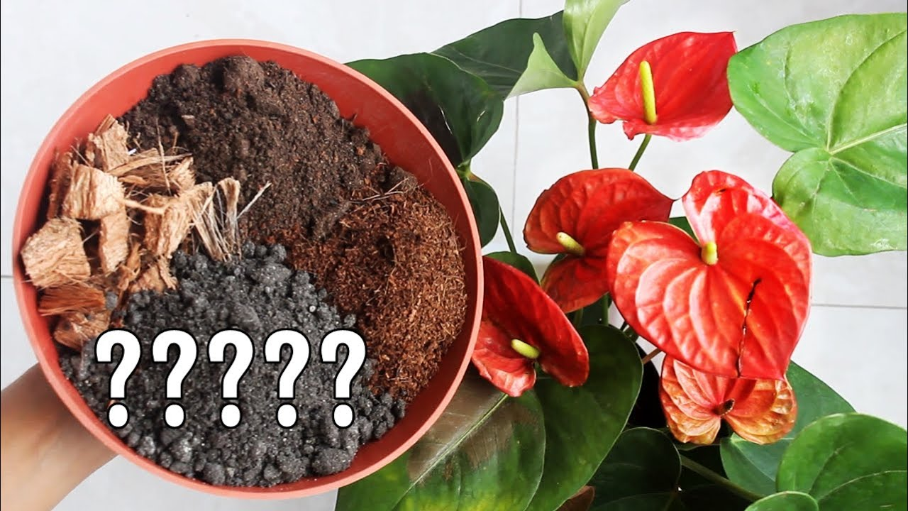 Best Potting Soil Mix For Anthurium Plant Youtube