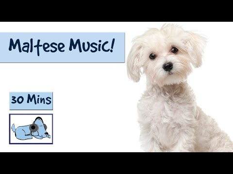 Maltese Music! Relaxing Dog Music Specially Designed for the Maltese Breed!