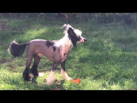 chinese crested dog 027