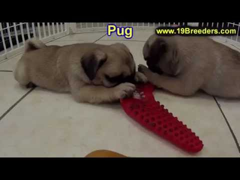 Pug, Puppies, Dogs, For Sale, In Miami, Florida, FL, 19Breeders, Tallahassee, Gainesville
