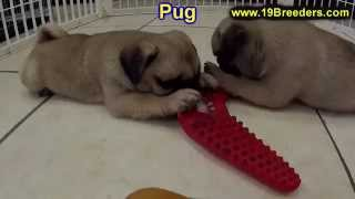 Pug, Puppies,for,sale, In,orlando Florida, Fl, Deltona,melbourne,palm Coast,