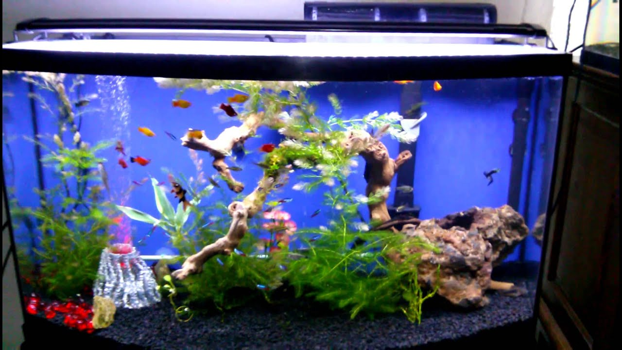 Freshwater neon tetra fish youtube for Neon fish tank