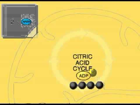 The Krebs Cycle Overview Animation (Citric Acid or TCA Cycle)