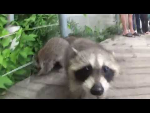 Baby Raccoons of Toronto