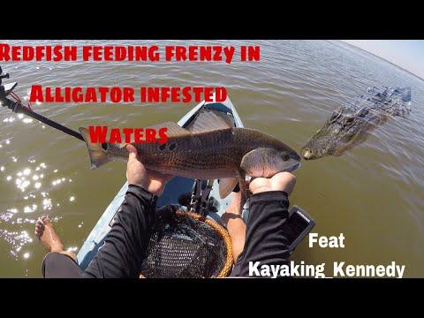 Kayak Fishing ---- Redfish Feeding Frenzy In Alligator Infested Waters!!