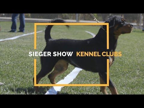 JUDGING ROTTWEILERS SIEGER  VS. KENNEL CLUB SHOWS