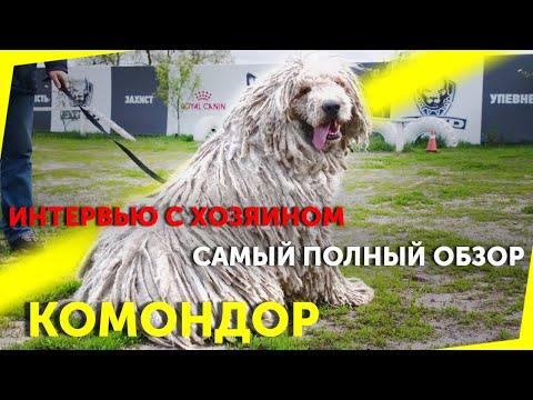 Вопрос: Как выглядит и символом какой страны является собака породы Комондор?