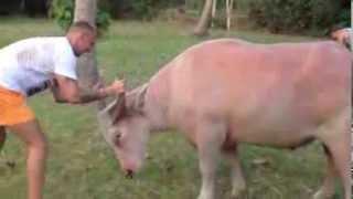 Тренировка быка, Путешествия, бодаюсь с быком, экстремальные путешествия, необычные путешествия