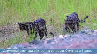 Исследователям в Малайзии удалось снять на видео редких дымчатых леопардов